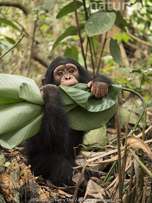 Chimpanzee (Pan troglodytes) orphan playing with leaf, Ape Action Africa, Mefou Primate Sanctuary, Cameroon  ,  Baby, Cameroon, Captive, Chimpanzee, Color Image, Day, Endangered Species, Front View, Full Length, Looking at Camera, Mefou Primate Sanctuary, Nobody, One Animal, Orphan, Outdoors, Pan troglodytes, Photography, Playing, Vertical, Wildlife, Young  ,  Gerry Ellis