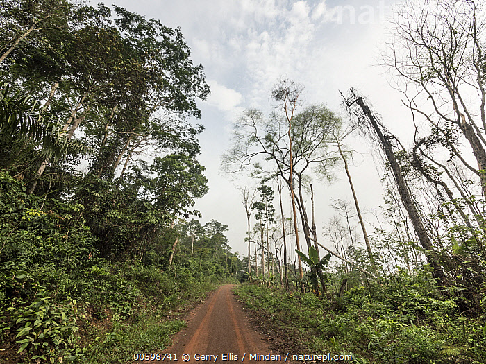 Slash-and-burn deforestation on small oil palm plantation, Cameroon  ,  Cameroon, Color Image, Day, Deforestation, Environmental Issue, Horizontal, Landscape, Nobody, Outdoors, Photography, Rainforest, Road  ,  Gerry Ellis