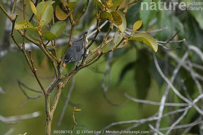 Spectacled Flowerpecker (Dicaeum dayakorum), first new endemic bird discovered in Borneo in over one hundred years, feeding, Borneo, Brunei  ,  Adult, Borneo, Brunei, Color Image, Day, Dicaeum dayakorum, Endemic, Feeding, Full Length, Horizontal, New Species, Nobody, One Animal, Outdoors, Photography, Side View, Songbird, Spectacled Flowerpecker, Wildlife  ,  Ch'ien Lee