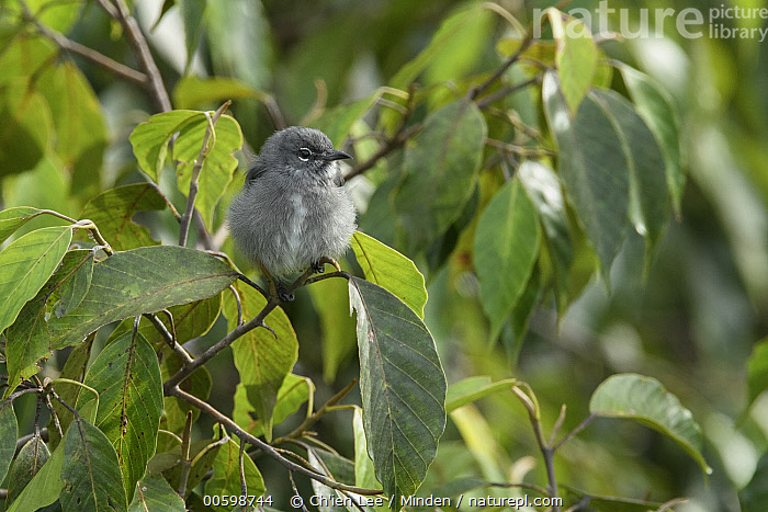 Spectacled Flowerpecker (Dicaeum dayakorum), first new endemic bird discovered in Borneo in over one hundred years, Borneo, Brunei  ,  Adult, Borneo, Brunei, Color Image, Day, Dicaeum dayakorum, Endemic, Front View, Full Length, Horizontal, New Species, Nobody, One Animal, Outdoors, Photography, Songbird, Spectacled Flowerpecker, Wildlife  ,  Ch'ien Lee