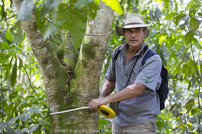 Botanist, Dr. Anton Weissenhofer, taking tree measurement in a pasture regenerated forest, Costa Rica  ,  Botanist, Caucasian Appearance, Color Image, Conservation, Conservationist, Costa Rica, Day, Dr. Anton Weissenhofer, Horizontal, Male, Man, Measuring, Mid Adult, One Person, Outdoors, Photography, Side View, Three Quarter Length, Tree  ,  Cyril Ruoso