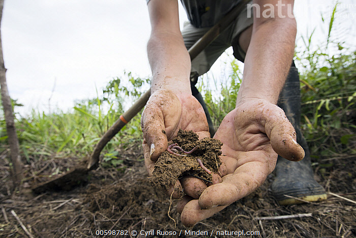 Conservationist holding soil with earthworms during replanting in pasture for tropical rainforest regeneration, Golfito, Costa Rica  ,  Color Image, Conservation, Conservationist, Costa Rica, Day, Earthworm, Front View, Full Length, Golfito, Holding, Horizontal, One Person, Outdoors, Photography, Reforestation, Replanting, Side View, Soil, Three Animals, Three Quarter Length  ,  Cyril Ruoso