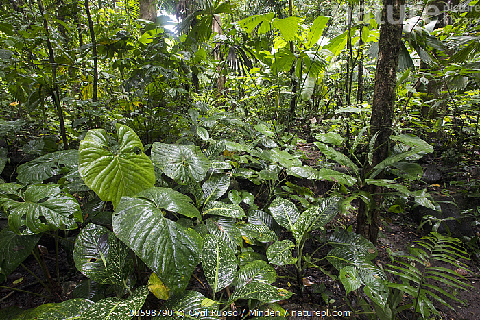 Primary tropical rainforest, Costa Rica  ,  Color Image, Costa Rica, Day, Forest Floor, Horizontal, Interior, Landscape, Lush, Nobody, Outdoors, Photography, Tropical Rainforest  ,  Cyril Ruoso