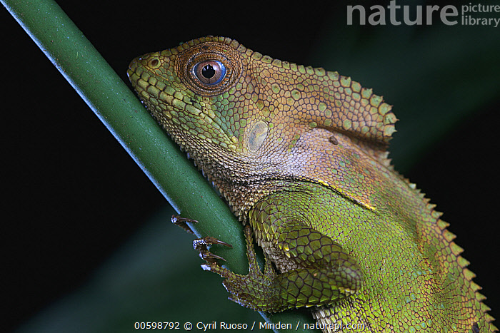 Helmeted Iguana (Corytophanes cristatus), Golfito, Costa Rica  ,  Adult, Color Image, Corytophanes cristatus, Costa Rica, Day, Golfito, Helmeted Iguana, Horizontal, Nobody, One Animal, Outdoors, Photography, Side View, Waist Up, Wildlife  ,  Cyril Ruoso