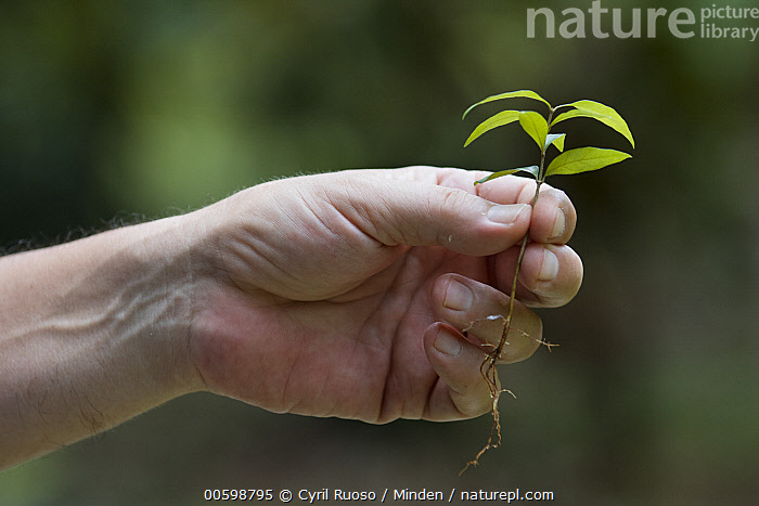 Botanist, Dr. Anton Weissenhofer, holding seedling, Golfito, Costa Rica  ,  Beginning, Botanist, Caucasian Appearance, Color Image, Conservation, Conservationist, Costa Rica, Day, Dr. Anton Weissenhofer, Golfito, Hand, Holding, Horizontal, Male, Man, Mid Adult, One Person, Outdoors, Photography, Seedling, Side View, Sprout  ,  Cyril Ruoso