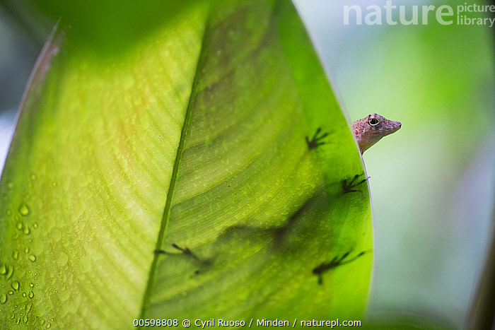 Many-scaled Anolis (Anolis polylepis), Golfito, Costa Rica  ,  Adult, Anolis polylepis, Color Image, Costa Rica, Day, Golfito, Horizontal, Many-scaled Anolis, Nobody, One Animal, Outdoors, Peeking, Photography, Silhouette, Three Quarter Length, Underside, Wildlife  ,  Cyril Ruoso
