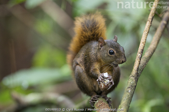 Red-tailed Squirrel (Sciurus granatensis) feeding on nut, Osa Peninsula, Costa Rica  ,  Adult, Arboreal, Color Image, Costa Rica, Day, Feeding, Front View, Full Length, Horizontal, Nobody, Nut, One Animal, Osa Peninsula, Outdoors, Photography, Red-tailed Squirrel, Sciurus granatensis, Wildlife  ,  Cyril Ruoso