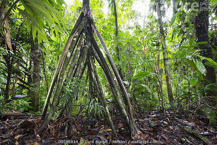 Walking Palm (Socratea exorrhiza) aerial root, Osa Peninsula, Costa Rica  ,  Aerial Root, Color Image, Costa Rica, Day, Horizontal, Landscape, Nobody, Osa Peninsula, Outdoors, Photography, Socratea exorrhiza, Tree, Walking Palm  ,  Cyril Ruoso