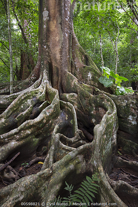 Buttress roots in rainforest, Osa Peninsula, Costa Rica  ,  Buttress Root, Color Image, Costa Rica, Day, Landscape, Nobody, Osa Peninsula, Outdoors, Photography, Rainforest, Tree, Tree Trunk, Vertical  ,  Cyril Ruoso