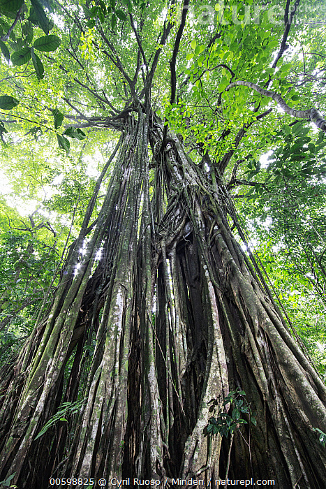 Fig (Ficus sp) tree, Osa Peninsula, Costa Rica  ,  Color Image, Costa Rica, Day, Ficus sp, Fig, Landscape, Looking Up, Low Angle View, Nobody, Osa Peninsula, Outdoors, Photography, Tree, Vertical  ,  Cyril Ruoso