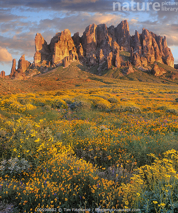 Wildflowers and mountains, Superstition Mountains, Lost Dutchman State Park, Arizona  ,  Arizona, Color Image, Day, Desert, Landscape, Lost Dutchman State Park, Mountain, Nobody, Outdoors, Peak, Photography, Superstition Mountains, Vertical, Wildflower  ,  Tim Fitzharris
