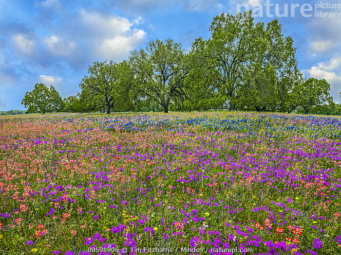 Paintbrush (Castilleja sp), Pointed Phlox (Phlox cuspidata), and Lupine (Lupinus sp) flowers, Poteet, Texas  ,  Blue Sky, Castilleja sp, Color Image, Day, Field, Flower, Horizontal, Landscape, Lupine, Lupinus sp, Mixed, Nobody, Outdoors, Paintbrush, Phlox cuspidata, Photography, Pink, Pointed Phlox, Poteet, Purple, Texas, Wildflower  ,  Tim Fitzharris