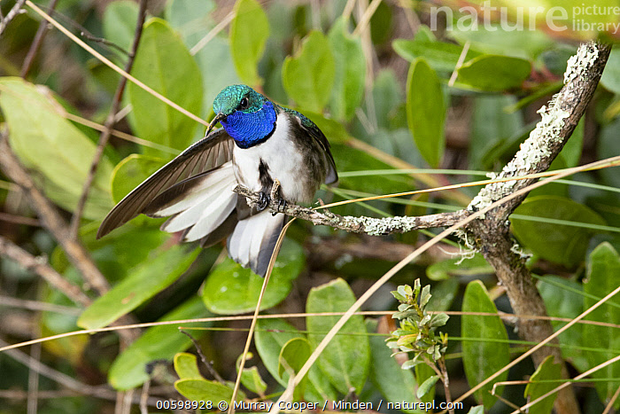 Blue-throated Hillstar (Oreotrochilus cyanolaemus) hummingbird, new species, stretching, Andes, Ecuador  ,  Andes, Blue-throated Hillstar, Color Image, Day, Ecuador, Front View, Full Length, Horizontal, Hummingbird, New Species, Nobody, One Animal, Oreotrochilus cyanolaemus, Outdoors, Photography, Stretching, Wildlife  ,  Murray Cooper