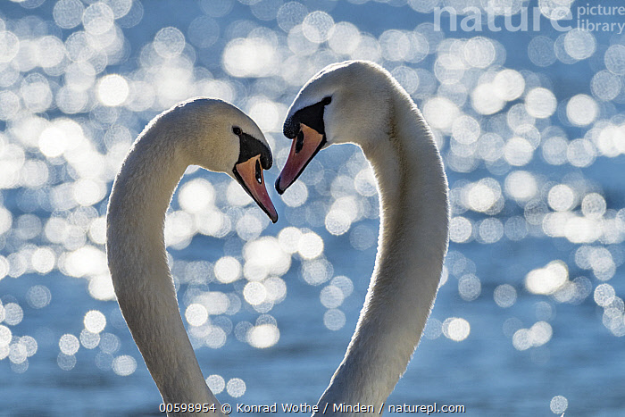 Mute Swan (Cygnus olor) pair courting, Upper Bavaria, Germany  ,  Affection, Color Image, Courting, Cygnus olor, Day, Displaying, Female, Germany, Head, Heart, Horizontal, Male, Mute Swan, Nobody, Outdoors, Photography, Side View, Tenderness, Two Animals, Upper Bavaria, Waterfowl, Wildlife  ,  Konrad Wothe