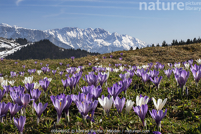 Dutch Crocus (Crocus vernus) flowers and mountains, Upper Bavaria, Germany  ,  Blue Sky, Color Image, Crocus vernus, Day, Dutch Crocus, Flower, Germany, Horizontal, Landscape, Mountain, Mountain Range, Nobody, Outdoors, Peak, Photography, Purple, Spring, Upper Bavaria, Wildflower  ,  Konrad Wothe