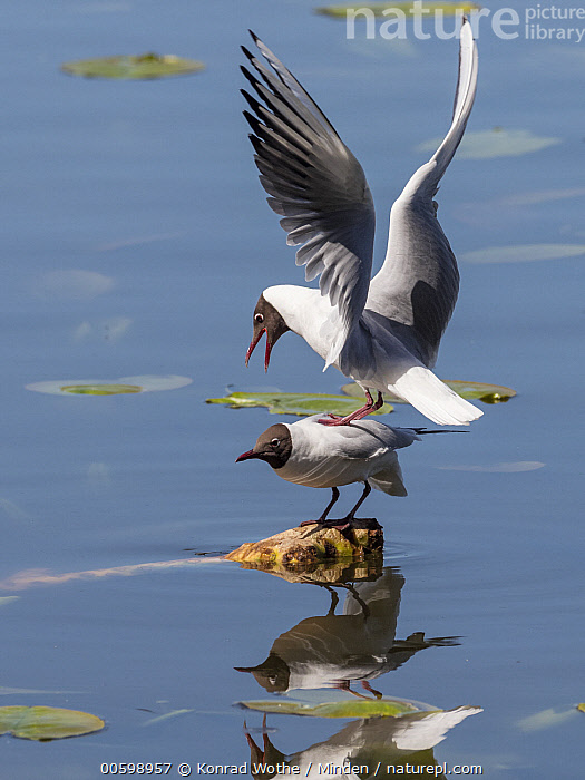 Black-headed Gull (Larus ridibundus) pair mating, Bavaria, Germany  ,  Balancing, Bavaria, Black-headed Gull, Color Image, Day, Female, Full Length, Germany, Larus ridibundus, Male, Mating, Nobody, Outdoors, Photography, Seabird, Side View, Spreading Wings, Two Animals, Vertical, Wildlife  ,  Konrad Wothe