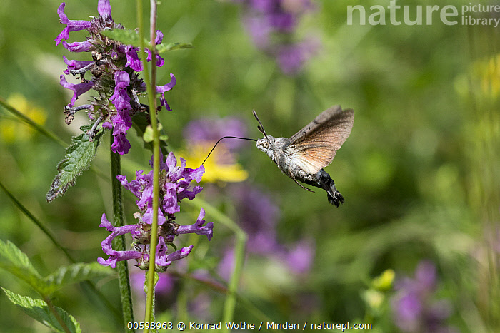 Hummingbird Hawk-moth (Macroglossum stellatarum) feeding on flower nectar, Bavaria, Germany  ,  Bavaria, Color Image, Day, Feeding, Flower, Flying, Full Length, Germany, Horizontal, Hummingbird Hawk-moth, Macroglossum stellatarum, Nectar, Nobody, One Animal, Outdoors, Photography, Side View, Wildlife  ,  Konrad Wothe