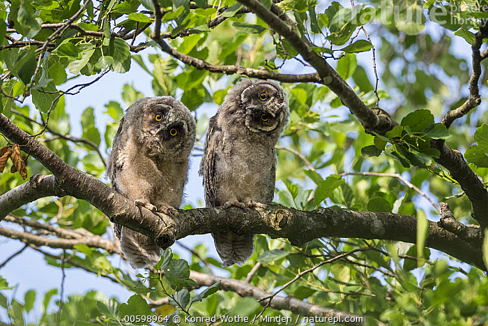 Long-eared Owl (Asio otus) owlets, Bavaria, Germany  ,  Asio otus, Baby, Bavaria, Color Image, Cute, Curiosity, Curious, Day, Front View, Full Length, Germany, Horizontal, Humor, Looking at Camera, Long-eared Owl, Nobody, Outdoors, Owlet, Photography, Raptor, Two Animals, Wildlife  ,  Konrad Wothe