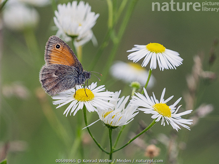 Small Heath (Coenonympha pamphilus) butterfly, Upper Bavaria, Germany  ,  Butterfly, Coenonympha pamphilus, Color Image, Day, Flower, Full Length, Germany, Horizontal, Nobody, One Animal, Outdoors, Photography, Side View, Small Heath, Upper Bavaria, Wildlife  ,  Konrad Wothe