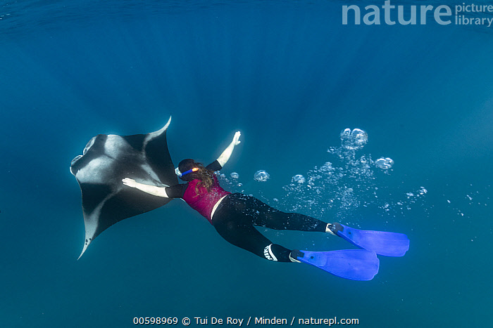 Manta Ray (Manta birostris) filter feeding with tourist nearby, Hanifaru, Baa Atoll, Maldives  ,  Baa Atoll, Color Image, Day, Diver, Diving, Ecotourism, Encroaching, Filter Feeding, Full Length, Hanifaru, Horizontal, Maldives, Manta Ray, Manta birostris, One Animal, One Person, Open Mouth, Outdoors, Photography, Snorkeler, Top View, Tourism, Tourist, Underwater, Wildlife  ,  Tui De Roy