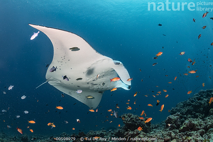 Manta Ray (Manta birostris) at cleaning station, Raa Atoll, Maldives  ,  Cleaning, Color Image, Day, Full Length, Horizontal, Large Group of Animals, Low Angle View, Maldives, Manta Ray, Manta birostris, Mutualism, Nobody, Outdoors, Photography, Raa Atoll, School, Side View, Symbiosis, Underwater, Wildlife,Cleaning, Color Image, Day, Full Length, Horizontal, Large Group of Animals, Low Angle View, Maldives, Manta Ray, Manta birostris, Mutualism, Nobody, Outdoors, Photography, Raa Atoll, School, Side View, Symbiosis, Underwater, Wildlife  ,  Tui De Roy