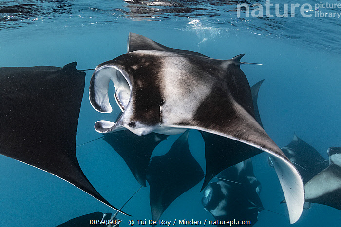 Manta Ray (Manta birostris) group filter feeding, Hanifaru, Baa Atoll, Maldives  ,  Baa Atoll, Color Image, Day, Filter Feeding, Full Length, Hanifaru, Horizontal, Maldives, Manta Ray, Manta birostris, Medium Group of Animals, Nobody, Open Mouth, Outdoors, Photography, Side View, Underwater, Wildlife  ,  Tui De Roy