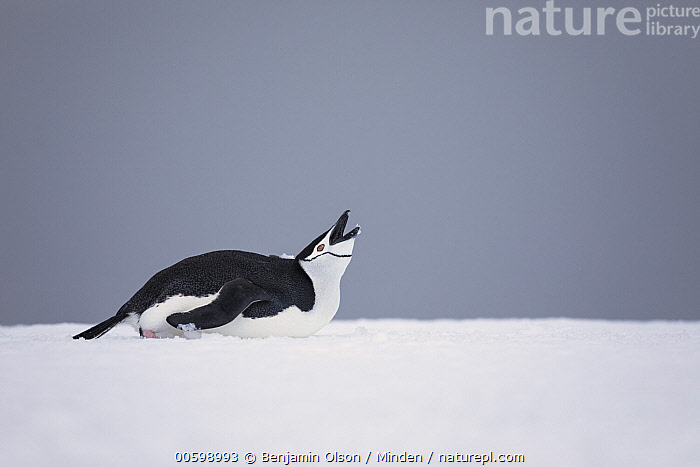 Chinstrap Penguin (Pygoscelis antarctica) calling, Antarctica Peninsula, Antarctica  ,  Antarctica, Antarctic Peninsula, Calling, Chinstrap Penguin, Color Image, Day, Full Length, Horizontal, Nobody, One Animal, Open Mouth, Outdoors, Photography, Pygoscelis antarctica, Seabird, Side View, Tobogganing, Wildlife  ,  Benjamin Olson