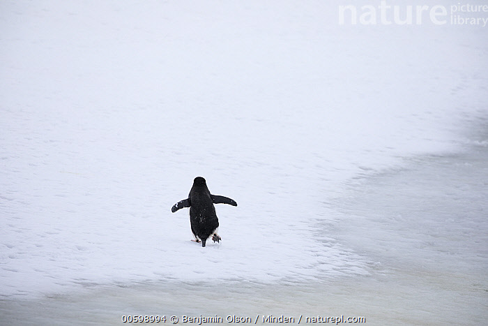 Chinstrap Penguin (Pygoscelis antarctica) on ice, Antarctica Peninsula, Antarctica  ,  Antarctica, Antarctic Peninsula, Backside, Chinstrap Penguin, Color Image, Day, Full Length, Horizontal, Ice, Lone, Nobody, One Animal, Outdoors, Photography, Pygoscelis antarctica, Rear View, Seabird, Solitude, Wildlife  ,  Benjamin Olson
