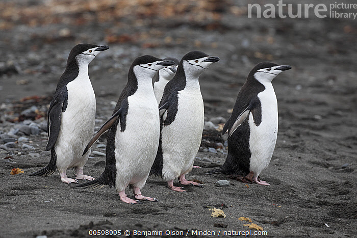 Chinstrap Penguin (Pygoscelis antarctica) group, Antarctica Peninsula, Antarctica  ,  Antarctica, Antarctic Peninsula, Chinstrap Penguin, Color Image, Conformity, Day, Five Animals, Full Length, Horizontal, Nobody, Outdoors, Photography, Pygoscelis antarctica, Seabird, Side View, Unison, Wildlife  ,  Benjamin Olson
