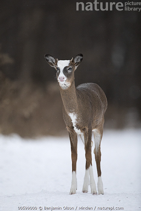 White-tailed Deer (Odocoileus virginianus) piebald buck in winter, Minnesota  ,  Buck, Color Image, Day, Front View, Full Length, Male, Minnesota, Nobody, Odocoileus virginianus, One Animal, Outdoors, Photography, Piebald, Snow, Vertical, White-tailed Deer, Wildlife, Winter  ,  Benjamin Olson