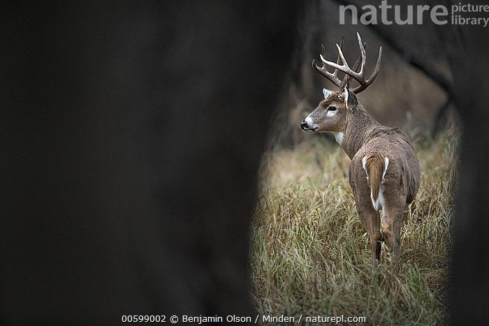 White-tailed Deer (Odocoileus virginianus) buck, Minnesota  ,  Buck, Color Image, Day, Full Length, Horizontal, Male, Minnesota, Nobody, Odocoileus virginianus, One Animal, Outdoors, Photography, Rear View, White-tailed Deer, Wildlife  ,  Benjamin Olson
