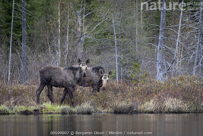 Moose (Alces alces andersoni) yearling twins, Superior National Forest, Minnesota  ,  Alces alces andersoni, Animal in Habitat, Baby, Bog, Calf, Color Image, Day, Full Length, Horizontal, Looking at Camera, Minnesota, Moose, Nobody, Outdoors, Photography, Side View, Superior National Forest, Twin, Two Animals, Wildlife, Yearling  ,  Benjamin Olson