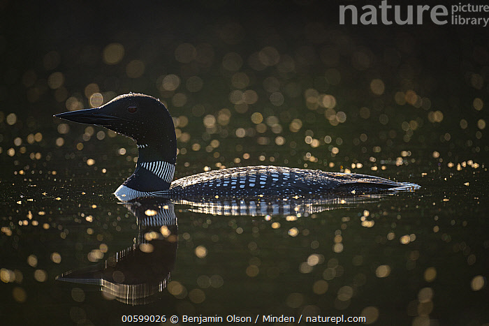 Common Loon (Gavia immer) among dead insects, Lutsen, Minnesota  ,  Color Image, Common Loon, Day, Dead, Death, Floating, Full Length, Gavia immer, Horizontal, Insect, Lutsen, Minnesota, Nobody, One Animal, Outdoors, Photography, Side View, Water Bird, Wildlife  ,  Benjamin Olson