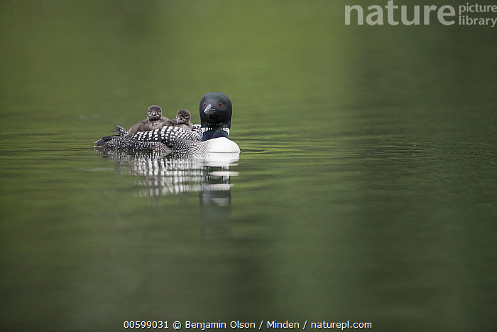 Common Loon (Gavia immer) parent carrying chicks, Minnesota  ,  Baby, Carrying, Chick, Color Image, Common Loon, Day, Full Length, Gavia immer, Horizontal, Minnesota, Nobody, Outdoors, Parent, Parenting, Photography, Side View, Three Animals, Water Bird, Wildlife  ,  Benjamin Olson
