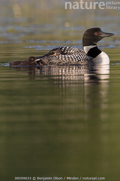 Common Loon (Gavia immer) parent with chick, Minnesota  ,  Baby, Chick, Color Image, Common Loon, Day, Full Length, Gavia immer, Minnesota, Nobody, Outdoors, Parent, Photography, Side View, Two Animals, Vertical, Water Bird, Wildlife  ,  Benjamin Olson