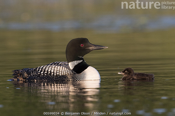 Common Loon (Gavia immer) parent with chick, Minnesota  ,  Baby, Chick, Color Image, Common Loon, Day, Full Length, Gavia immer, Horizontal, Minnesota, Nobody, Outdoors, Parent, Photography, Side View, Three Animals, Water Bird, Wildlife  ,  Benjamin Olson