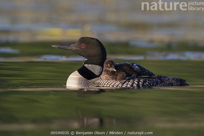 Common Loon (Gavia immer) parent carrying chick, Minnesota  ,  Baby, Carrying, Chick, Color Image, Common Loon, Day, Full Length, Gavia immer, Horizontal, Minnesota, Nobody, Outdoors, Parent, Parenting, Photography, Side View, Two Animals, Water Bird, Wildlife  ,  Benjamin Olson