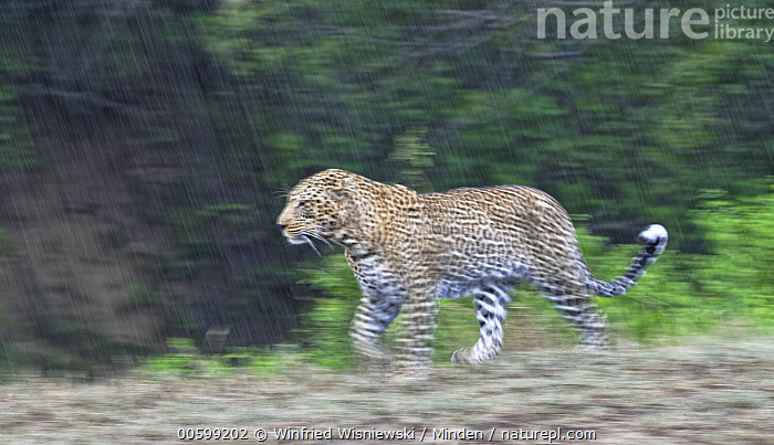 Leopard (Panthera pardus) male running in rainfall, Masai Mara, Kenya  ,  Adult, Blurred Motion, Color Image, Day, Full Length, Horizontal, Kenya, Leopard, Male, Masai Mara, Nobody, One Animal, Outdoors, Panoramic, Panthera pardus, Photography, Rainfall, Running, Side View, Vertical, Wildlife  ,  Winfried Wisniewski