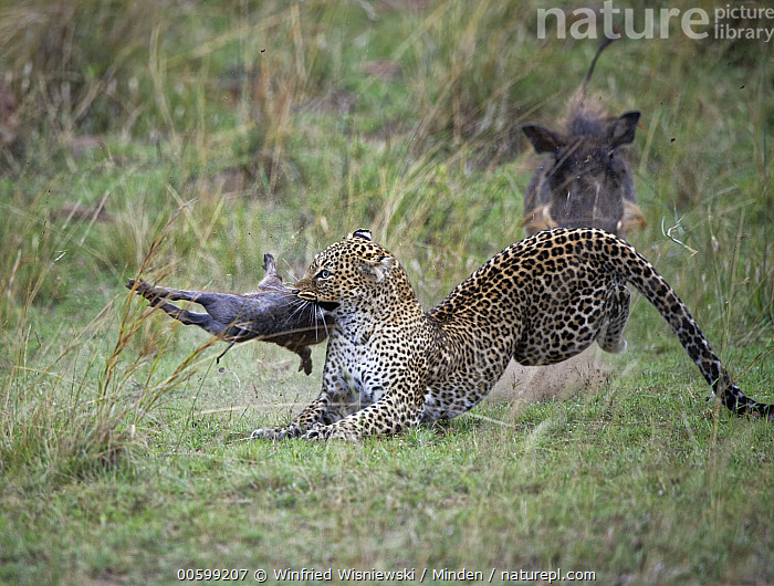 Leopard (Panthera pardus) killing young Warthog (Phacochoerus africanus) while parent tries to protect it, Masai Mara, Kenya  ,  Adult, Attacking, Baby, Color Image, Day, Front View, Horizontal, Hunting, Kenya, Killing, Leopard, Masai Mara, Nobody, Outdoors, Panthera pardus, Parent, Parenting, Phacochoerus africanus, Photography, Piglet, Predator, Prey, Protecting, Running, Side View, Three Animals, Three Quarter Length, Warthog, Wildlife  ,  Winfried Wisniewski