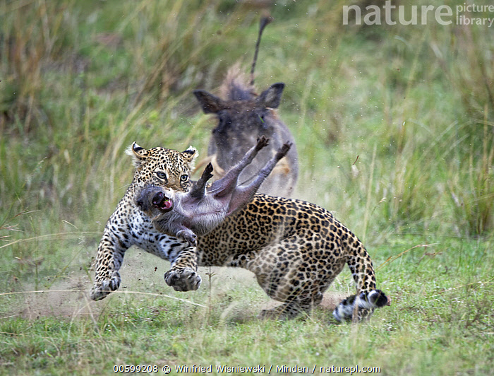 Leopard (Panthera pardus) killing young Warthog (Phacochoerus africanus) while parent tries to protect it, Masai Mara, Kenya  ,  Adult, Attacking, Baby, Color Image, Day, Front View, Full Length, Horizontal, Hunting, Kenya, Killing, Leopard, Masai Mara, Nobody, Outdoors, Panthera pardus, Parent, Parenting, Phacochoerus africanus, Photography, Piglet, Predator, Prey, Protecting, Running, Side View, Three Animals, Three Quarter Length, Warthog, Wildlife  ,  Winfried Wisniewski