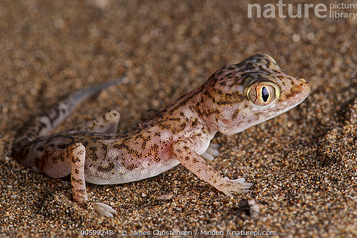 Southern Short-fingered Gecko (Stenodactylus leptocosymbotes), Barka, Oman  ,  Adult, Barka, Color Image, Day, Full Length, Horizontal, Nobody, Oman, One Animal, Outdoors, Photography, Side View, Southern Short-fingered Gecko, Stenodactylus leptocosymbotes, Wildlife,Adult, Barka, Color Image, Day, Full Length, Horizontal, Nobody, Oman, One Animal, Outdoors, Photography, Side View, Southern Short-fingered Gecko, Stenodactylus leptocosymbotes, Wildlife  ,  James Christensen