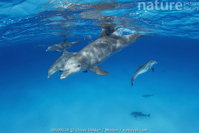 Bottlenose Dolphin (Tursiops truncatus) pod, Bahamas, Caribbean  ,  Adult, Bahamas, Bottlenose Dolphin, Caribbean, Color Image, Day, Four Animals, Full Length, Horizontal, Marine Mammal, Nobody, Outdoors, Photography, Pod, Side View, Tursiops truncatus, Underwater, Wildlife  ,  Chase Dekker
