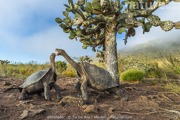 Pinzon Island Tortoise (Chelonoidis nigra ephippium) pair fighting, Pinzon Island, Galapagos Islands, Ecuador  ,  Adult, Animal in Habitat, Chelonoidis nigra ephippium, Color Image, Competition, Day, Ecuador, Endemic, Fighting, Full Length, Galapagos Islands, Horizontal, Interacting, Nobody, Outdoors, Photography, Pinzon Island, Pinzon Island Tortoise, Side View, Threatened Species, Two Animals, Vulnerable Species, Wildlife  ,  Tui De Roy