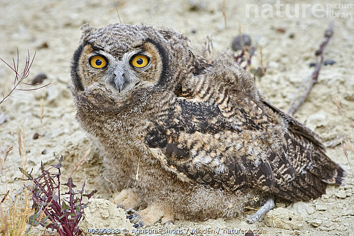 Lesser Horned Owl (Bubo magellanicus) fledgling, Puerto Madryn, Argentina  ,  Adult, Argentina, Bubo magellanicus, Color Image, Day, Fledgling, Full Length, Horizontal, Lesser Horned Owl, Looking at Camera, Nobody, One Animal, Outdoors, Photography, Puerto Madryn, Side View, Wildlife  ,  Agustin Esmoris
