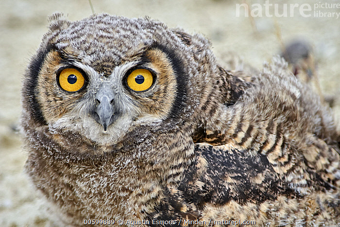 Lesser Horned Owl (Bubo magellanicus) fledgling, Puerto Madryn, Argentina  ,  Adult, Argentina, Bubo magellanicus, Color Image, Day, Fledgling, Horizontal, Lesser Horned Owl, Looking at Camera, Nobody, One Animal, Outdoors, Photography, Puerto Madryn, Side View, Waist Up, Wildlife  ,  Agustin Esmoris