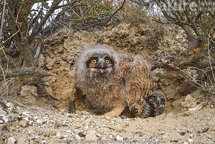Lesser Horned Owl (Bubo magellanicus) chicks in nest, Puerto Madryn, Argentina  ,  Adult, Argentina, Baby, Bubo magellanicus, Chick, Color Image, Day, Full Length, Horizontal, Lesser Horned Owl, Looking at Camera, Nest, Nobody, Outdoors, Photography, Puerto Madryn, Side View, Two Animals, Wildlife  ,  Agustin Esmoris