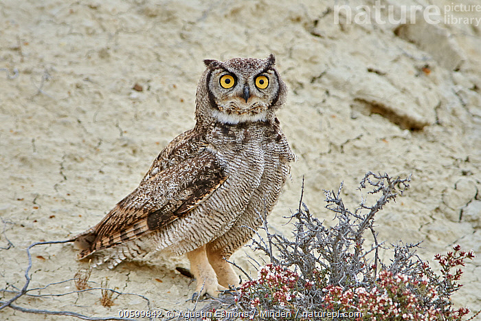 Lesser Horned Owl (Bubo magellanicus), Puerto Madryn, Argentina  ,  Adult, Argentina, Bubo magellanicus, Color Image, Day, Full Length, Horizontal, Lesser Horned Owl, Looking at Camera, Nobody, One Animal, Outdoors, Photography, Puerto Madryn, Side View, Wildlife  ,  Agustin Esmoris