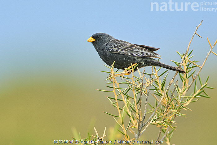 Carbonated Sierra-Finch (Phrygilus carbonarius), Puerto Madryn, Argentina  ,  Adult, Argentina, Carbonated Sierra-Finch, Color Image, Day, Full Length, Horizontal, Nobody, One Animal, Outdoors, Photography, Phrygilus carbonarius, Puerto Madryn, Side View, Songbird, Wildlife  ,  Agustin Esmoris