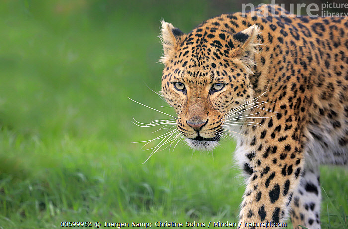 Amur Leopard (Panthera pardus orientalis), native to Asia  ,  Adult, Amur Leopard, Captive, Color Image, Critically Endangered Species, Day, Endangered Species, Horizontal, Nobody, One Animal, Outdoors, Panthera pardus orientalis, Photography, Side View, Waist Up, Wildlife  ,  Juergen & Christine Sohns
