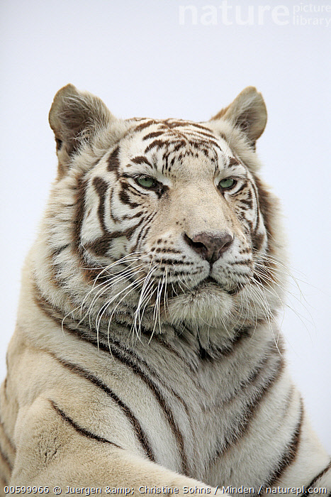 Bengal Tiger (Panthera tigris tigris), white morph, native to Asia  ,  Adult, Bengal Tiger, Captive, Color Image, Day, Endangered Species, Head and Shoulders, Low Angle View, Nobody, One Animal, Outdoors, Panthera tigris tigris, Photography, Portrait, Profile, Side View, Vertical, White, White Morph, Wildlife  ,  Juergen & Christine Sohns